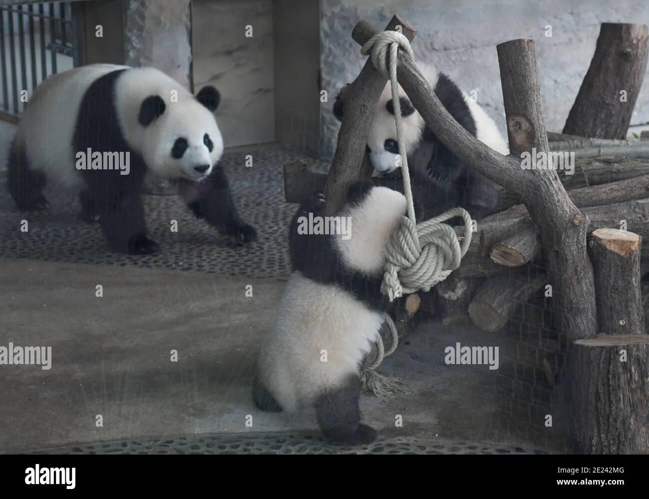 Berlin, 14.02.2020: Zwei Wochen nach dem Einzug der Pandas in ihr neues Gehege fährt Normalität ein. Die Zwillinge Meng Xiang und Meng Yuan alias Pit Stockfoto