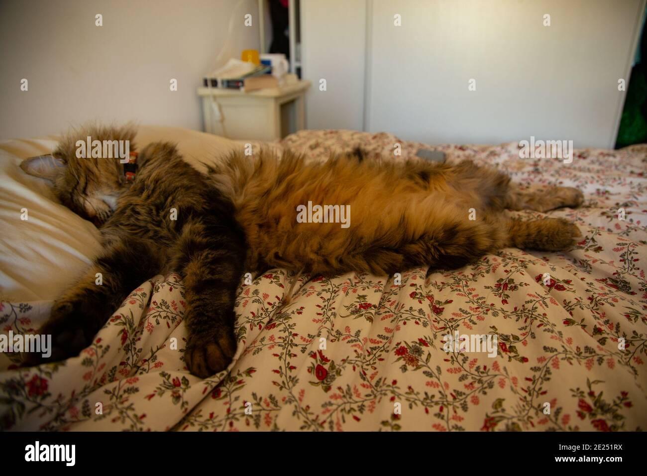 Katze schläft in einer unbeholfenen Position. Stockfoto