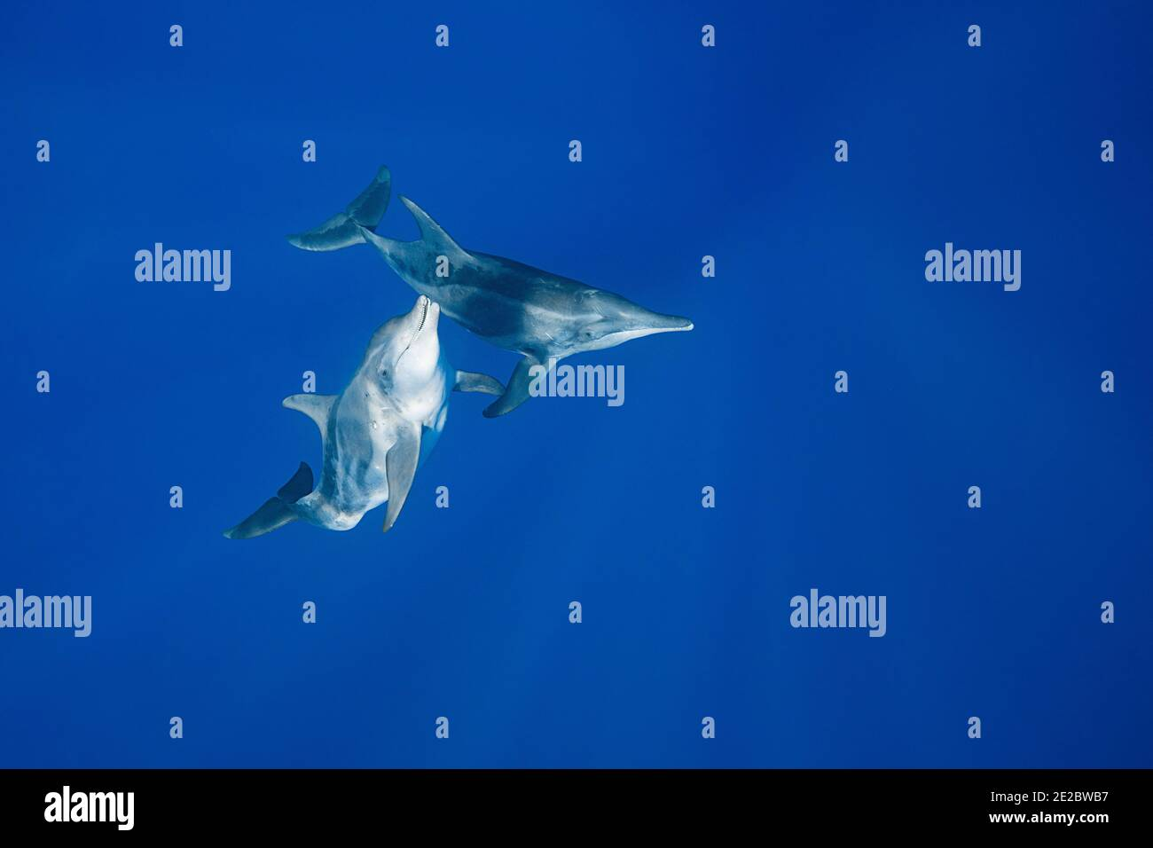 Rough-Toothed Delphine, Steno bredanensis, vor Keauhou, Kona, Hawaii ( die große Insel ), USA ( Zentral-Pazifik ) Stockfoto