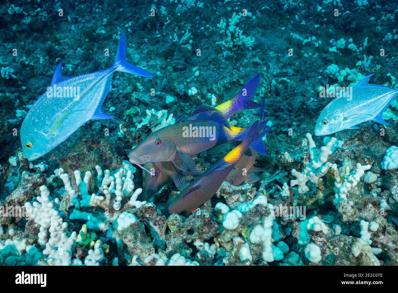 Jagd Koalition von blauen Goatfish und bluefin trevally; Jacks folgen den Goatfish zu ergreifen, jede Beute, die die Goatfish aus der Koralle spülen, Hawaii Stockfoto