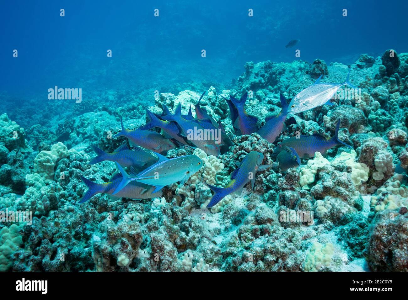 Jagd Koalition von blauen Goatfish und Blauflossen Jacks; Goatfish Beute aus Korallen und Jacks ergreifen alle, die versuchen zu fliehen; Kona, Hawaii, USA Stockfoto
