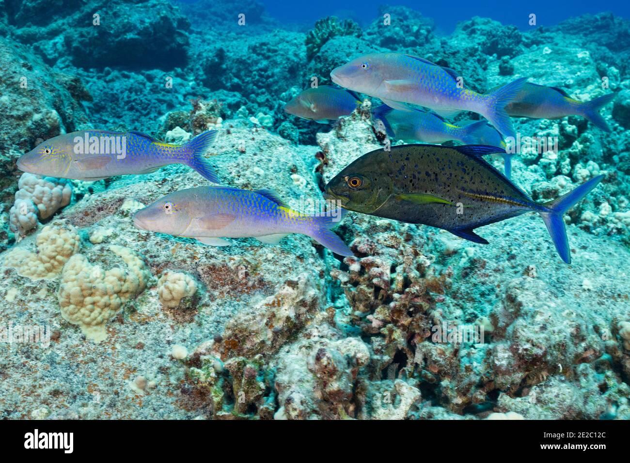 Jagd Koalition von blauen Ziegenfisch und Blaufe Jack; Jack hat eine dunkle Farbphase, die Aggression oder Territorialität zeigen kann angenommen; Kona, Hawaii Stockfoto