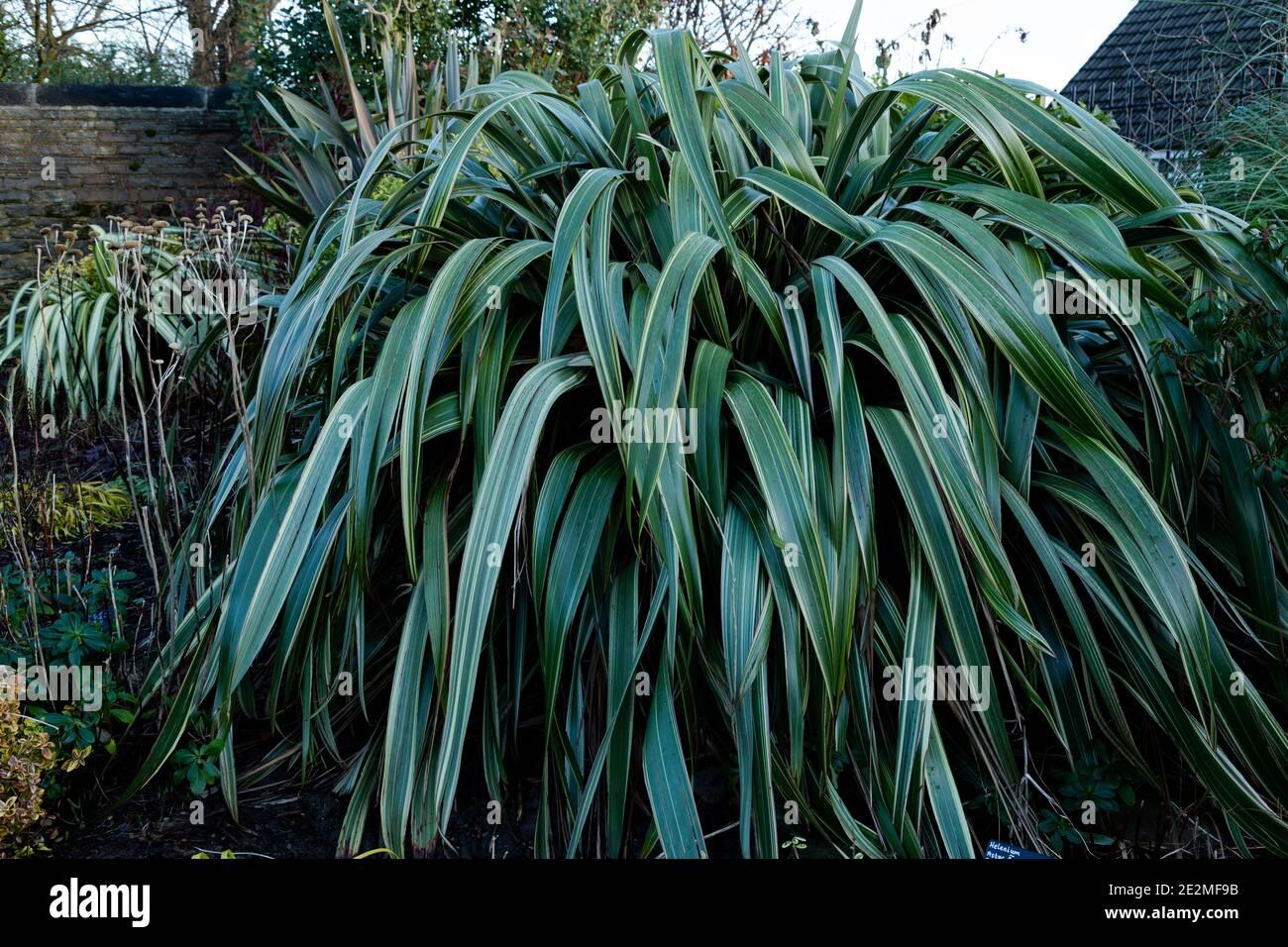 Phormium 'gelbe Welle' - Neuseeland Flachs. Stockfoto