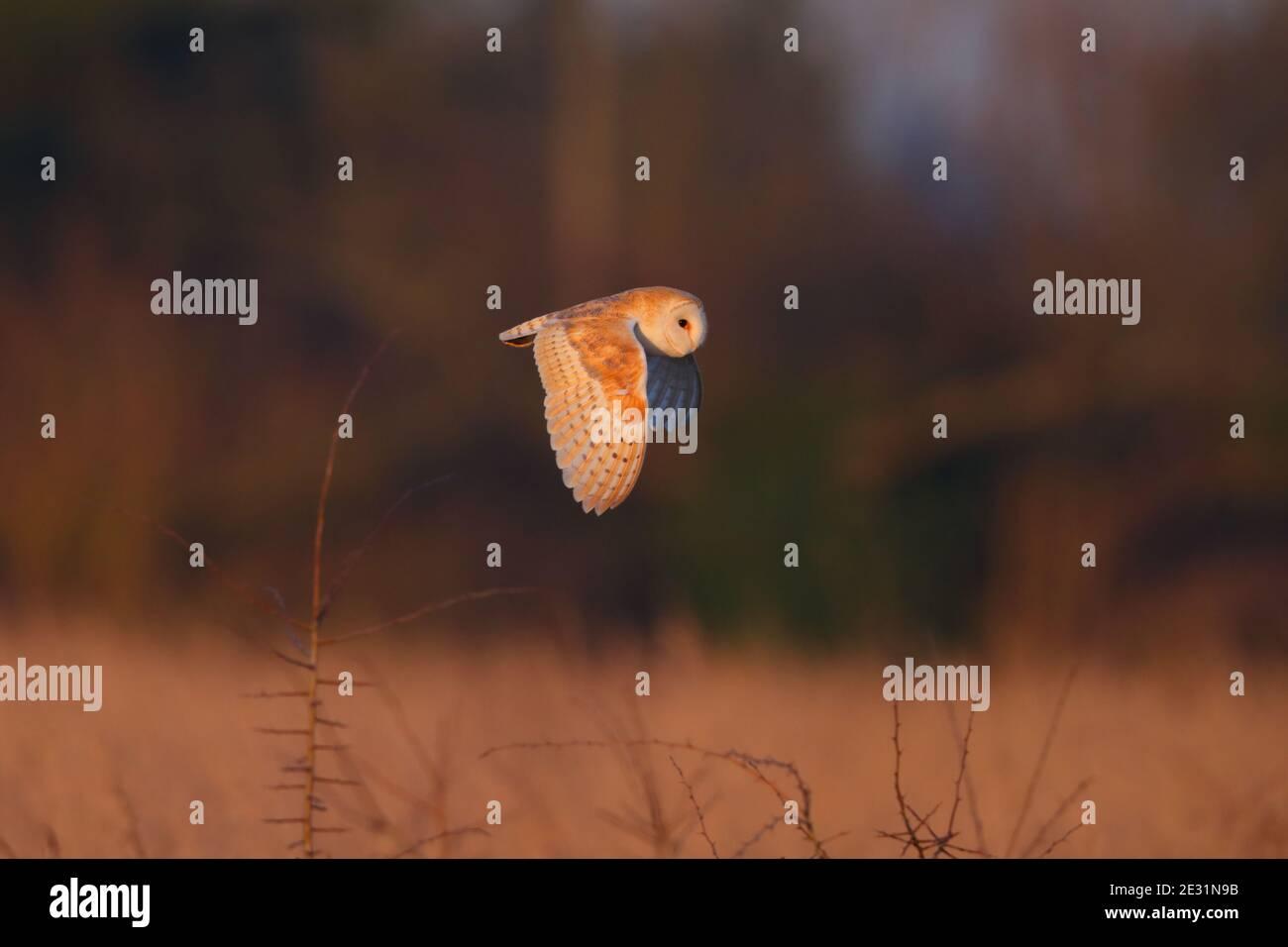 Eine Scheune Owl (Tyto alba) im Flug in Suffolk, Großbritannien Stockfoto
