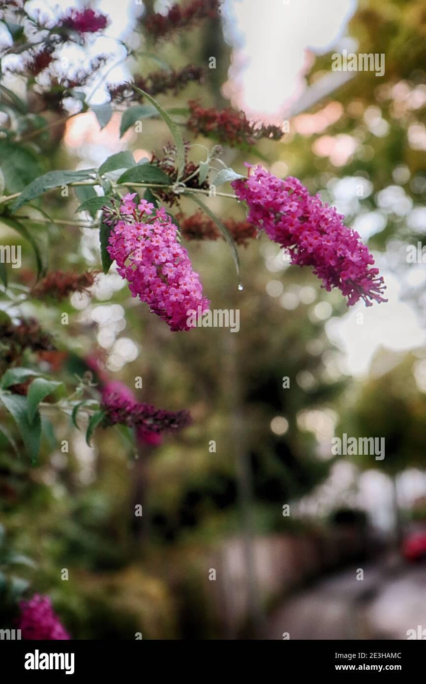 Fliederblüten von tiefvioletter Farbe im Garten, weicher Fokus, verschwommener Hintergrund Stockfoto