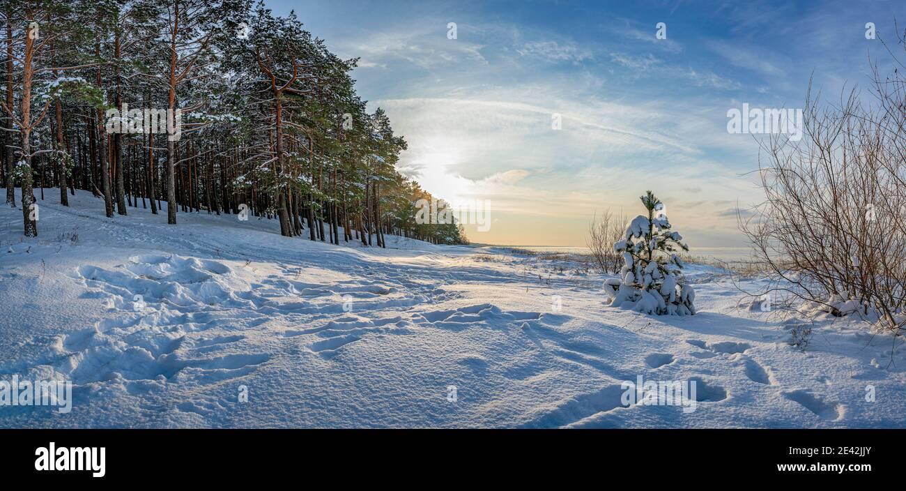 Panoramablick auf die Winterlandschaft. Bedeckt mit Schneebäumen gegen dramatisches Abendlicht. Verschneite Ostseeküste. Stockfoto