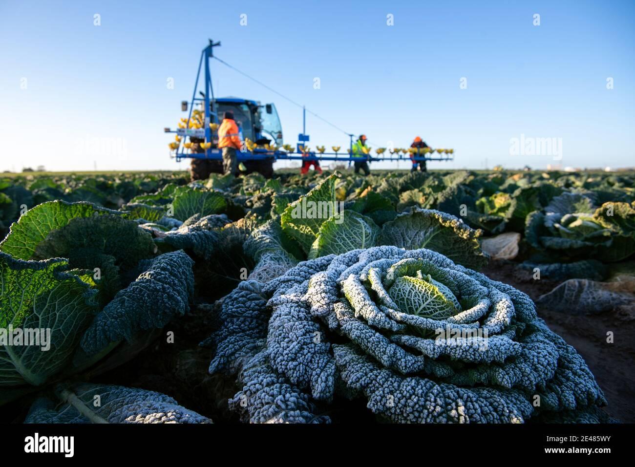 Arbeiter ernten savoy-Kohl bei TH Clements in der Nähe von Boston in Lincolnshire. Bilddatum: Freitag, 22. Januar 2021. Stockfoto
