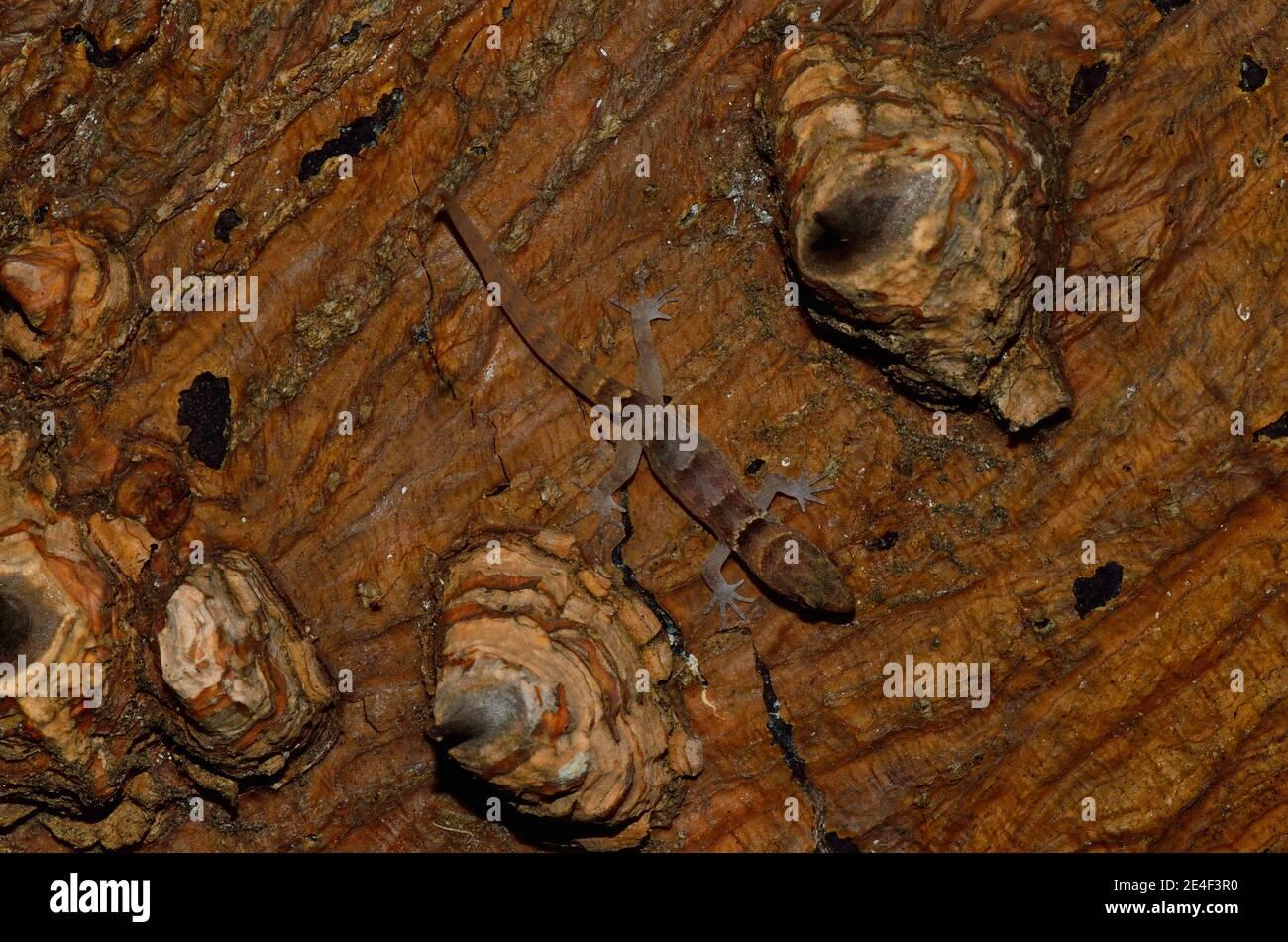 Gonatodes antillensis, antilles Gecko, Antillen-Zwerggecko, juvenil, Jungtier Stockfoto
