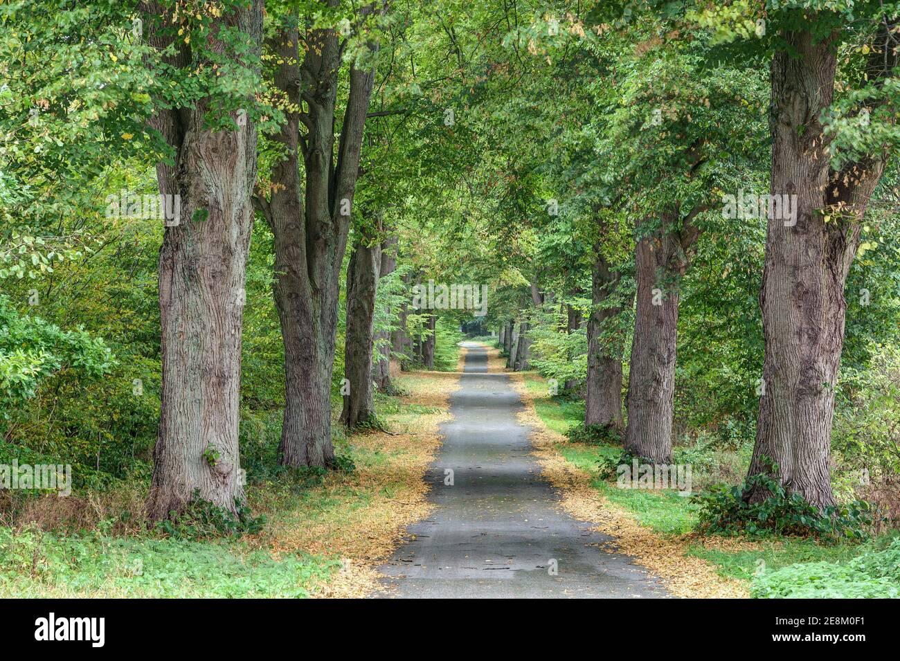Im Herbst wird die kleine Straße, die durch die herrliche Allee führt, von den gelben Blättern der Bäume eingerahmt. Stockfoto