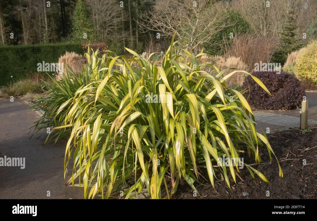 Wintersonne auf einem Evergreen Neuseeland Flachs Lily Pflanze (Phormium 'Yellow Wave') wächst in einem Garten in Rural Devon, England, Großbritannien Stockfoto