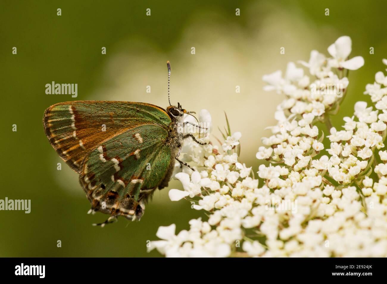 Ein Wacholder Hairstreak Schmetterling Fütterung von Blumen im Sommer. Stockfoto
