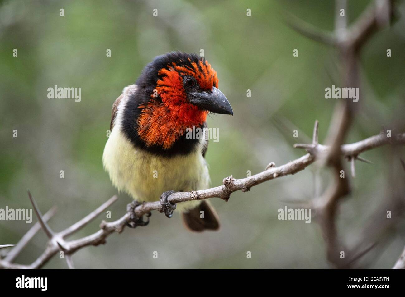 Schwarzhalsbarbet, Lybius torquatus, Krüger National Park, Südafrika Stockfoto