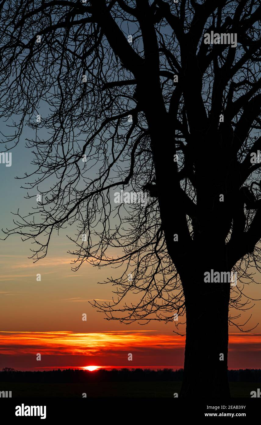 Alte Kastanie im Abendlicht, Neuhorst Stockfoto