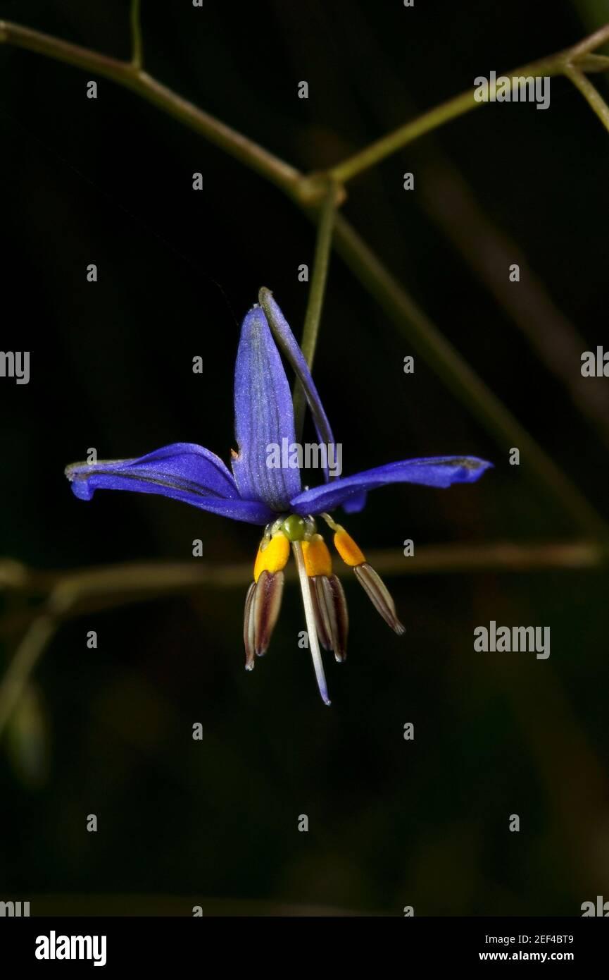 Flachslillies (Dianella revoluta) sind so verbreitet, dass niemand sie bemerkt - doch sie haben diese wunderschönen blauen und goldenen Blumen, die im Wind tanzen! Stockfoto
