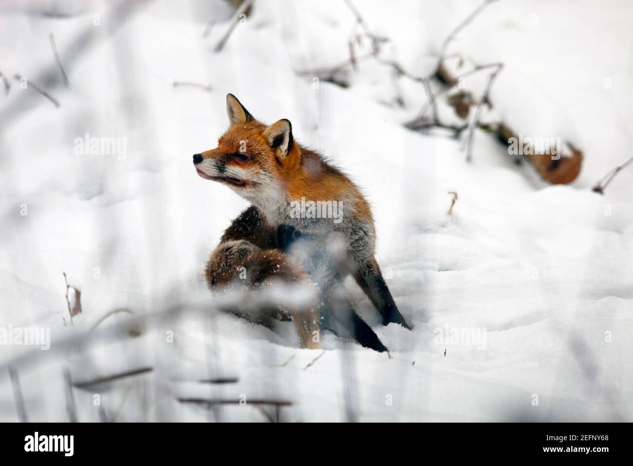 Ein Fuchs (Vulpes vulpes) sitzt in der schneebedeckten Landschaft in Kent, Vereinigtes Königreich, während des Winters. Januar 2021 Stockfoto