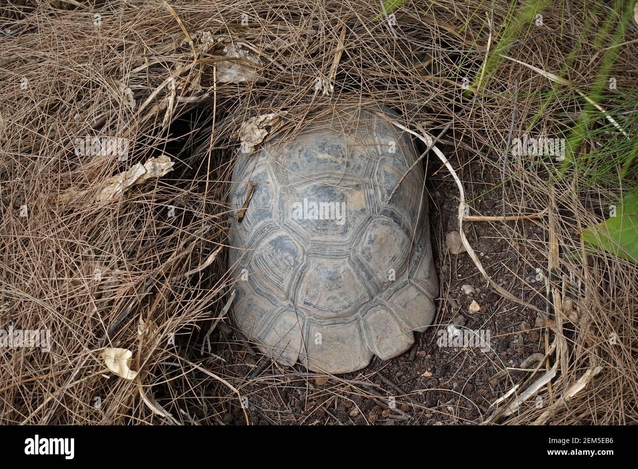 Waldschildkröte mit Schlüpfling unter Kiefernnadelnest an einem heißen Sommertag. Stockfoto