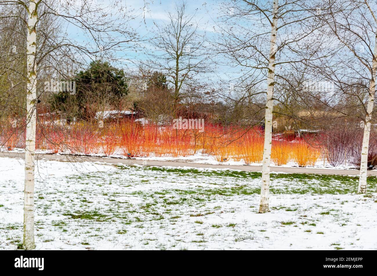 Dogwood Annys Winter Orange, hell vor schneebedeckter Kulisse. Stockfoto