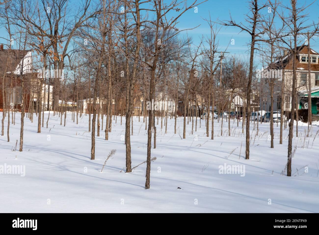 Detroit, Michigan - Bäume im Winter, Teil der Hantz Woodlands Baumfarm. Die riesige Menge an leerem Land in Detroit hat es dem Unternehmen erlaubt, mit Vol Stockfoto