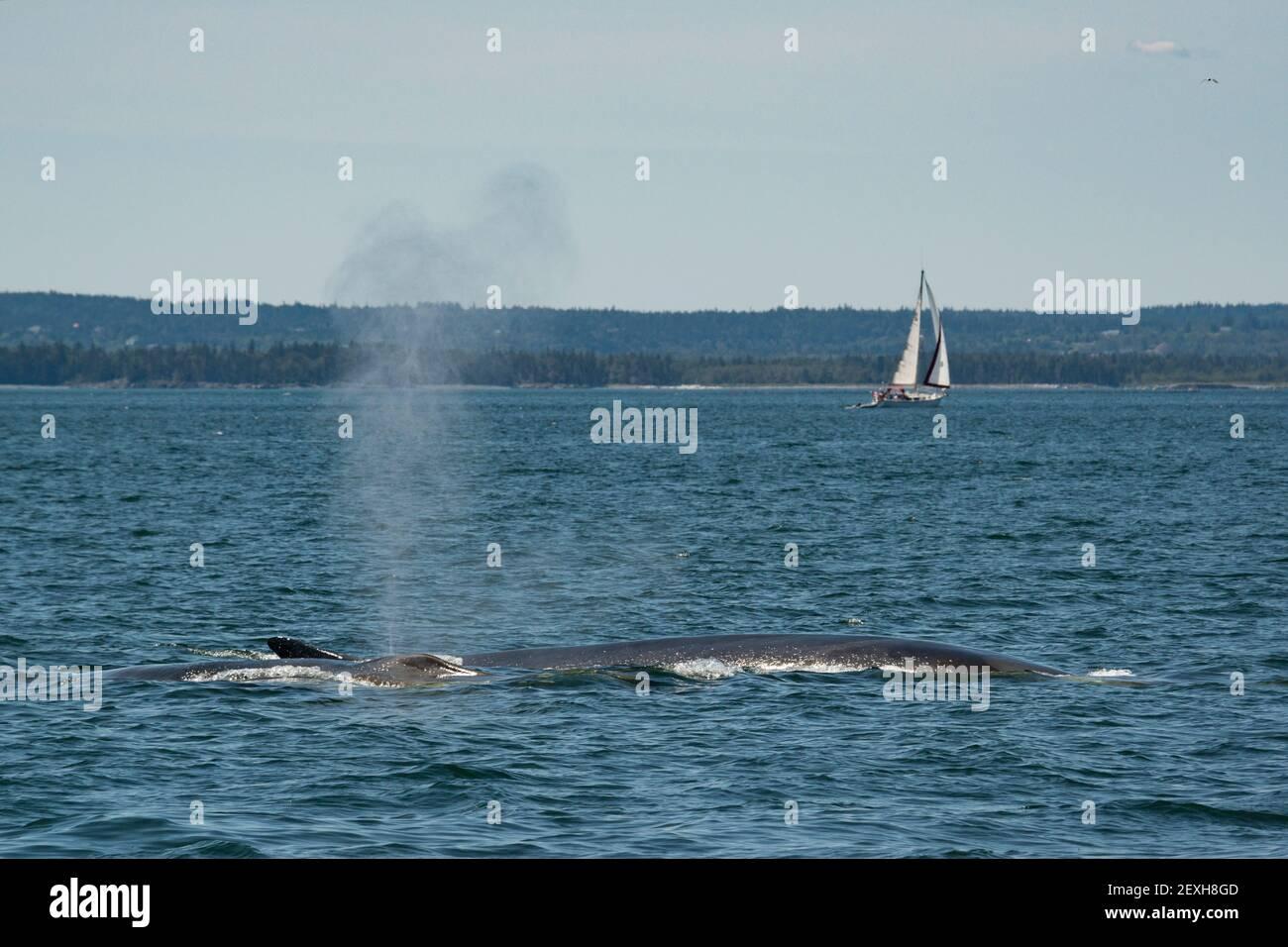 Finnwale oder Finback-Wale, Balaenoptera physalus, vor der Grand Manan Island wehen oder sprießen, mit Segelboot im Hintergrund, Bay of Fundy, NB, Kanada Stockfoto