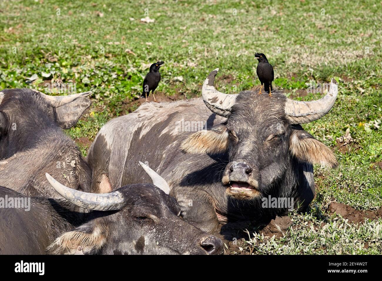 Feral, Wasserbüffel (Bubalus bubalis) schwelgen in Schlammbecken mit Haubenmynavögeln (Acridotheres cristatellus). Die Vögel säubern Zecken und andere ins Stockfoto