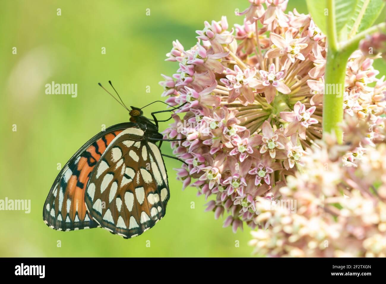 03325-00602 Regal Fritillary (Speyeria idalia) Weibchen auf gemeiner Milchblume (Asclepias syriaca) Sand Prairie - Scrub Oak Nature Preserve Mason Co. IL Stockfoto