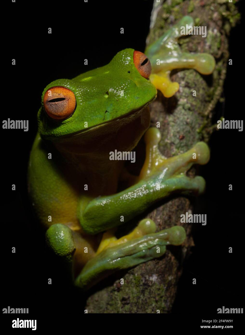 Red Eyed Tree Frog on a branch, Natural Bridge, Queensland, Australien Stockfoto