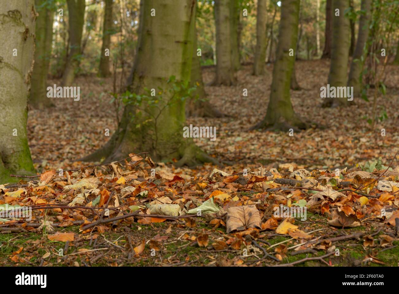 Herbst in Esholt Woods, Yorkshire, England. Stockfoto