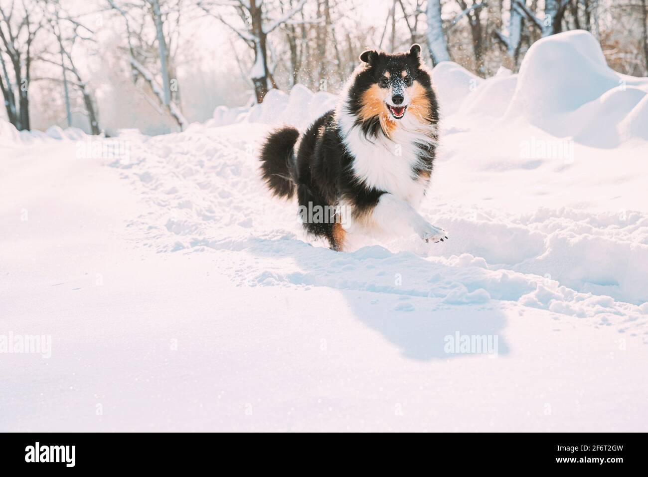 Lustig Junge Shetland Sheepdog, Sheltie, Collie schnell im Freien in Snowy Park läuft. Verspieltes Haustier im Winter Wald. Stockfoto