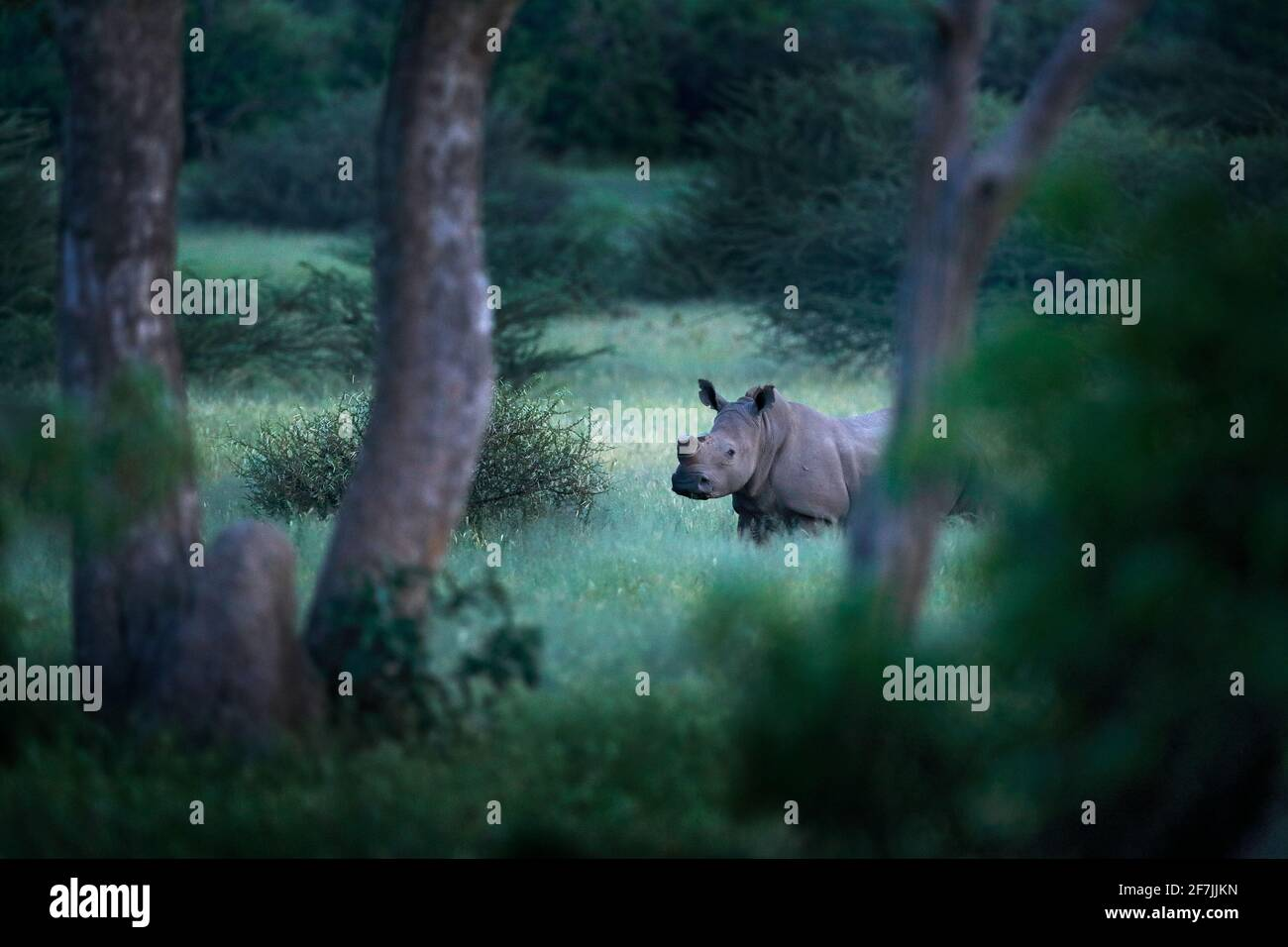 Rhino in Waldlebensraum. Weißes Nashorn, Ceratotherium simum, mit geschnittenen Hörnern, im Naturlebensraum, Okavango Delta, Botswana. Afrika. Tierarten-Scen Stockfoto