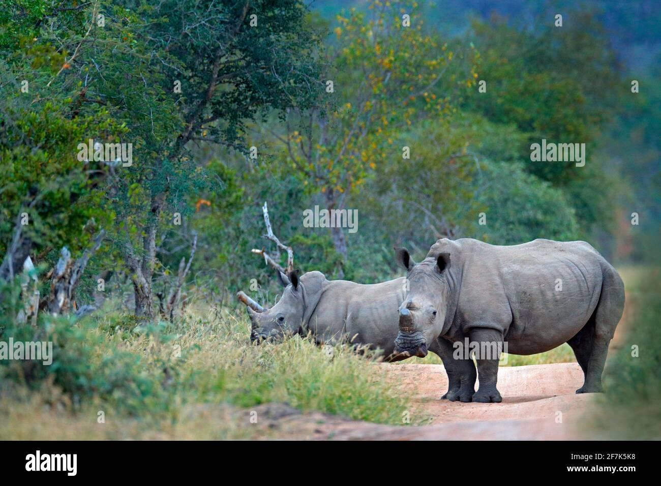 Rhino in Waldlebensraum. Zwei Weiße Nashorn, Ceratotherium simum, mit geschnittenen Hörnern, im Naturlebensraum Kruger Nationalpark. Afrika. Tierarten-Scen Stockfoto