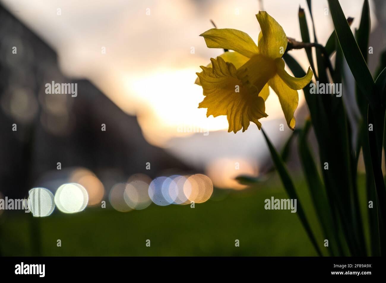 Berlin, Deutschland. April 2021. In der Frankfurter Allee blüht bei Sonnenuntergang eine Narzissenblüte. Quelle: Christophe Gateau/dpa/Alamy Live News Stockfoto