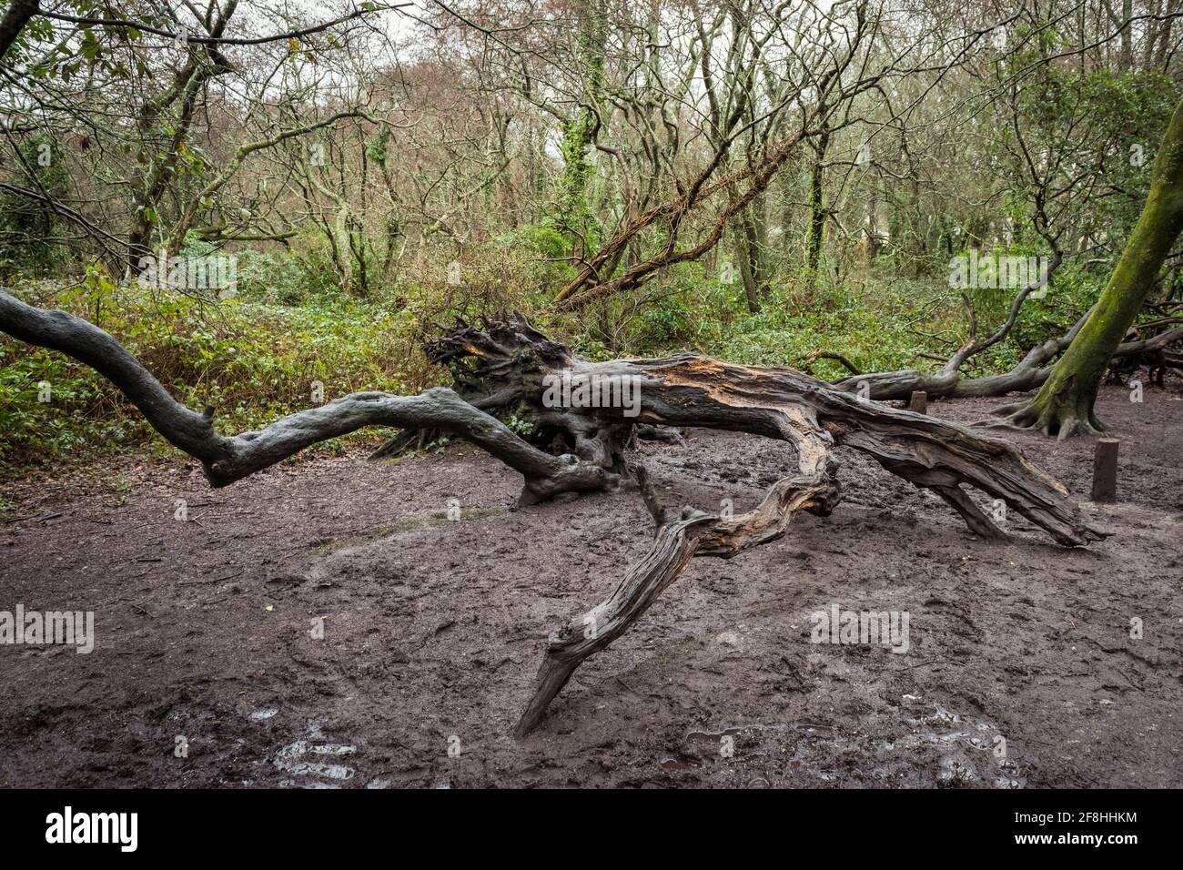 In den Tehidy Woods ist ein alter kaltgefallener toter Baum gefallen In Cornwall, Großbritannien Stockfoto