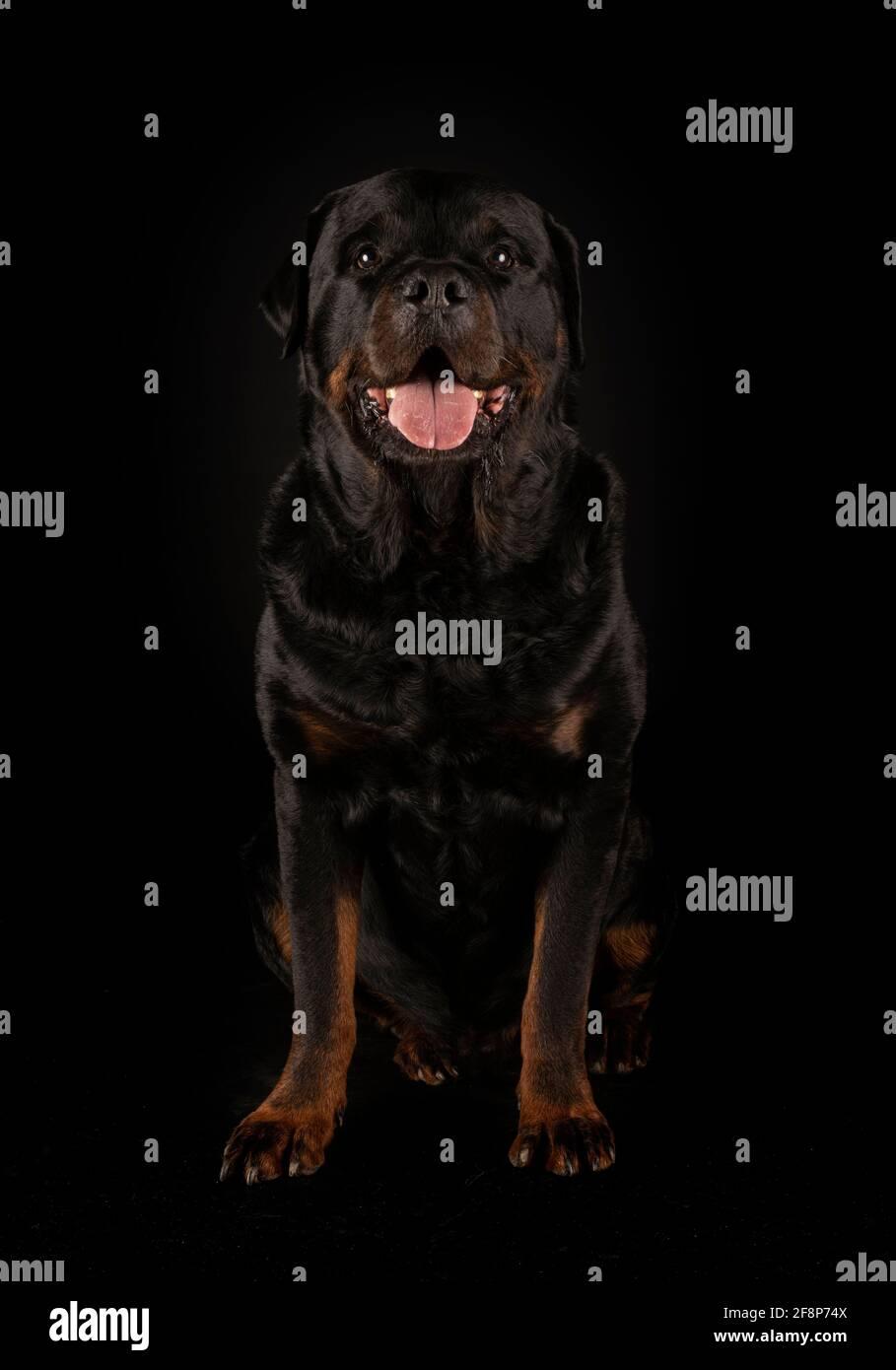 Reinrassige Rottweiler vor schwarzem Hintergrund Stockfoto