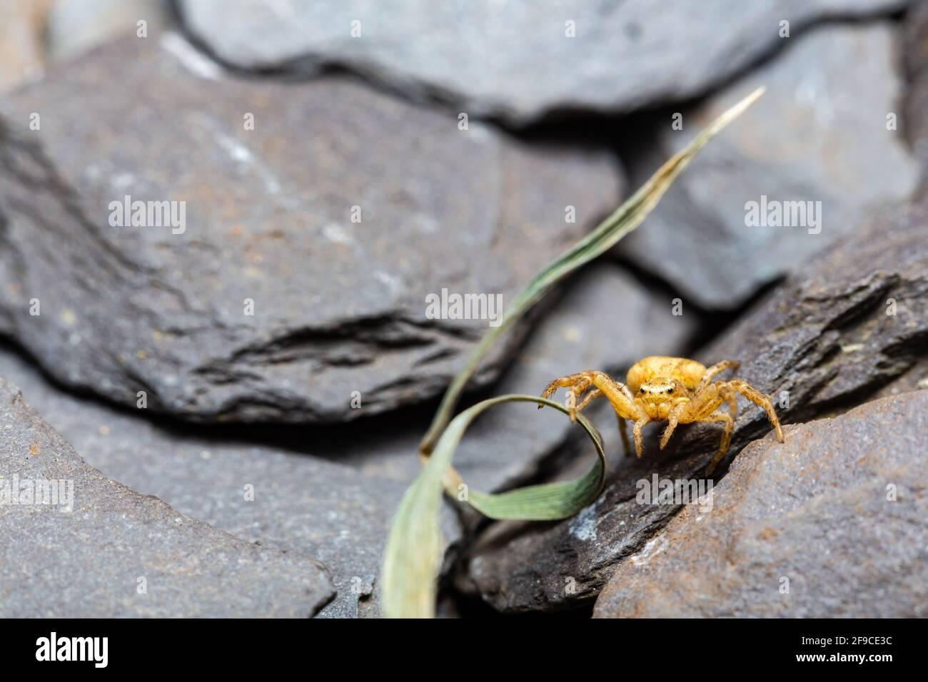 Gewöhnliche Krabbenspinne / Xysticus sp. Stockfoto