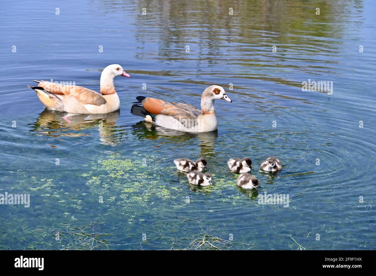 Kent. VEREINIGTES KÖNIGREICH. Ein schöner Tag mit klarem blauen Himmel und Temperaturen bis zu 13 Grad. Ägyptische Gänse (Alopochen aegyptiaca) mit Gänsen, River Cray, Foots Cray Meadows, Sidcup, Kent. VEREINIGTES KÖNIGREICH Stockfoto