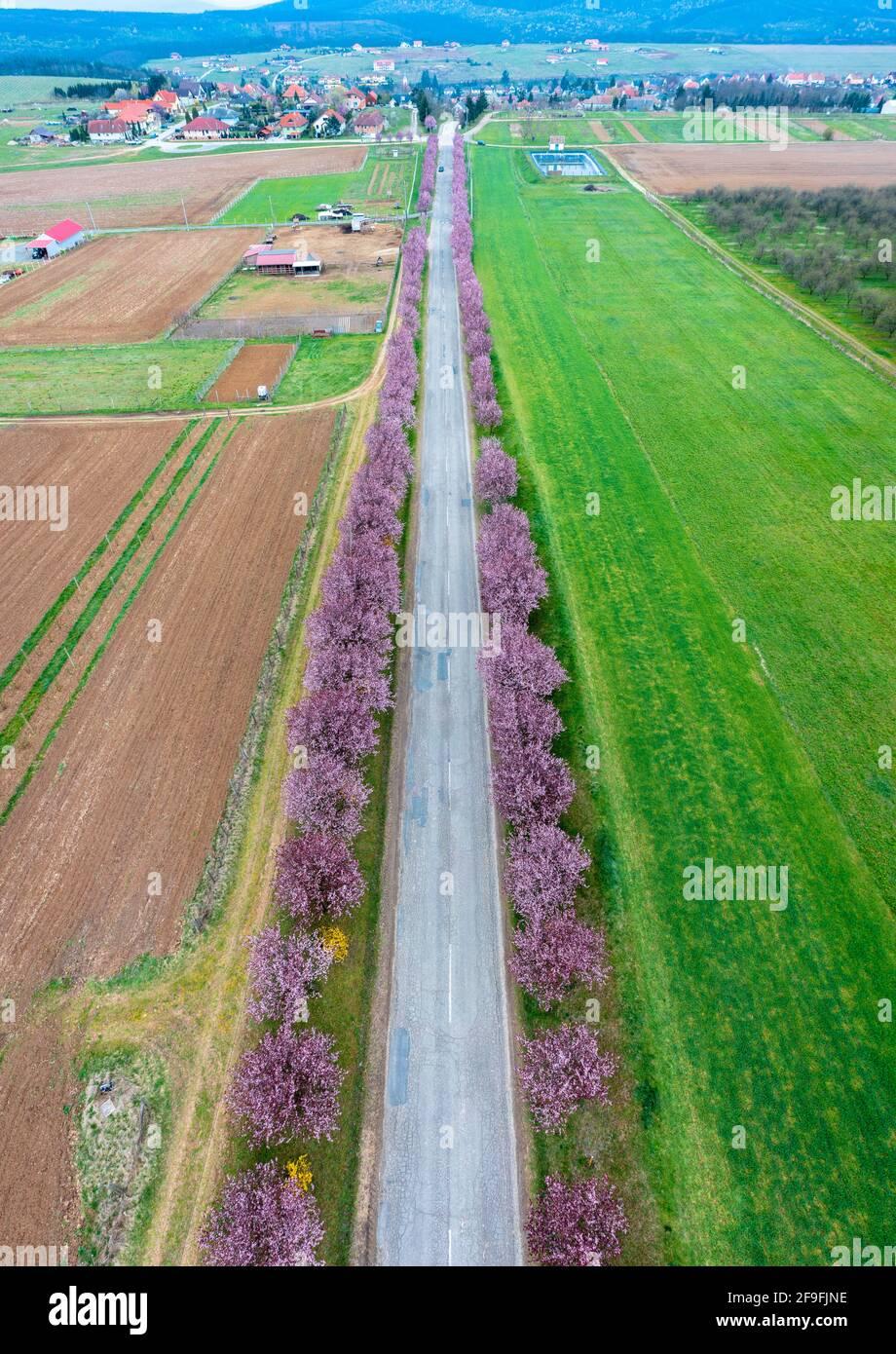 Berkenye, Ungarn - Luftaufnahme über schöne blühende Pflaumenbäume an der Straße. Frühling Sonnenaufgang Landschaft, Kirschblüte. Stockfoto