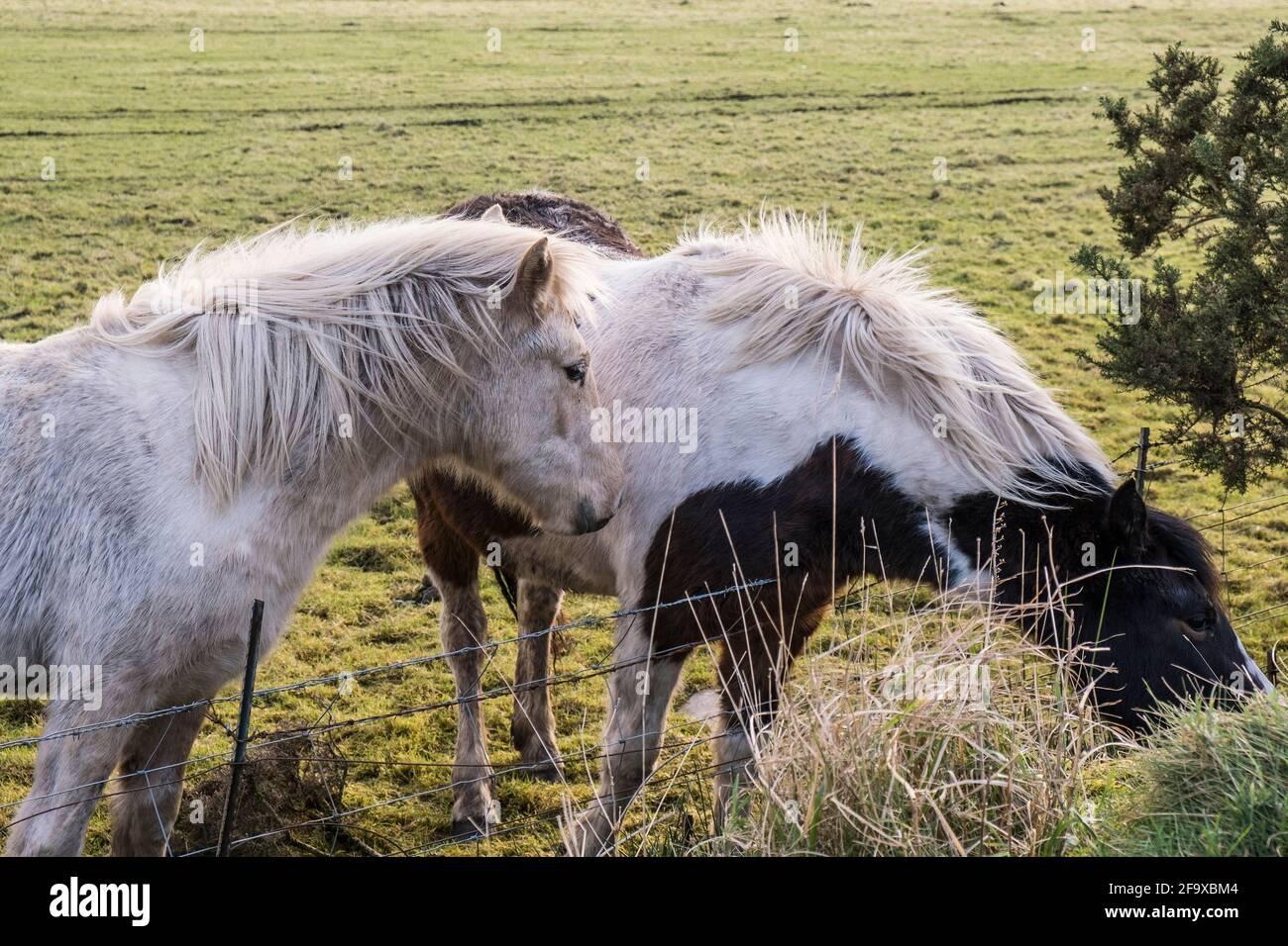Ikonische ungezähmte Bodmin Ponys in einem Feld auf Bodmin Moor in Cornwall. Stockfoto