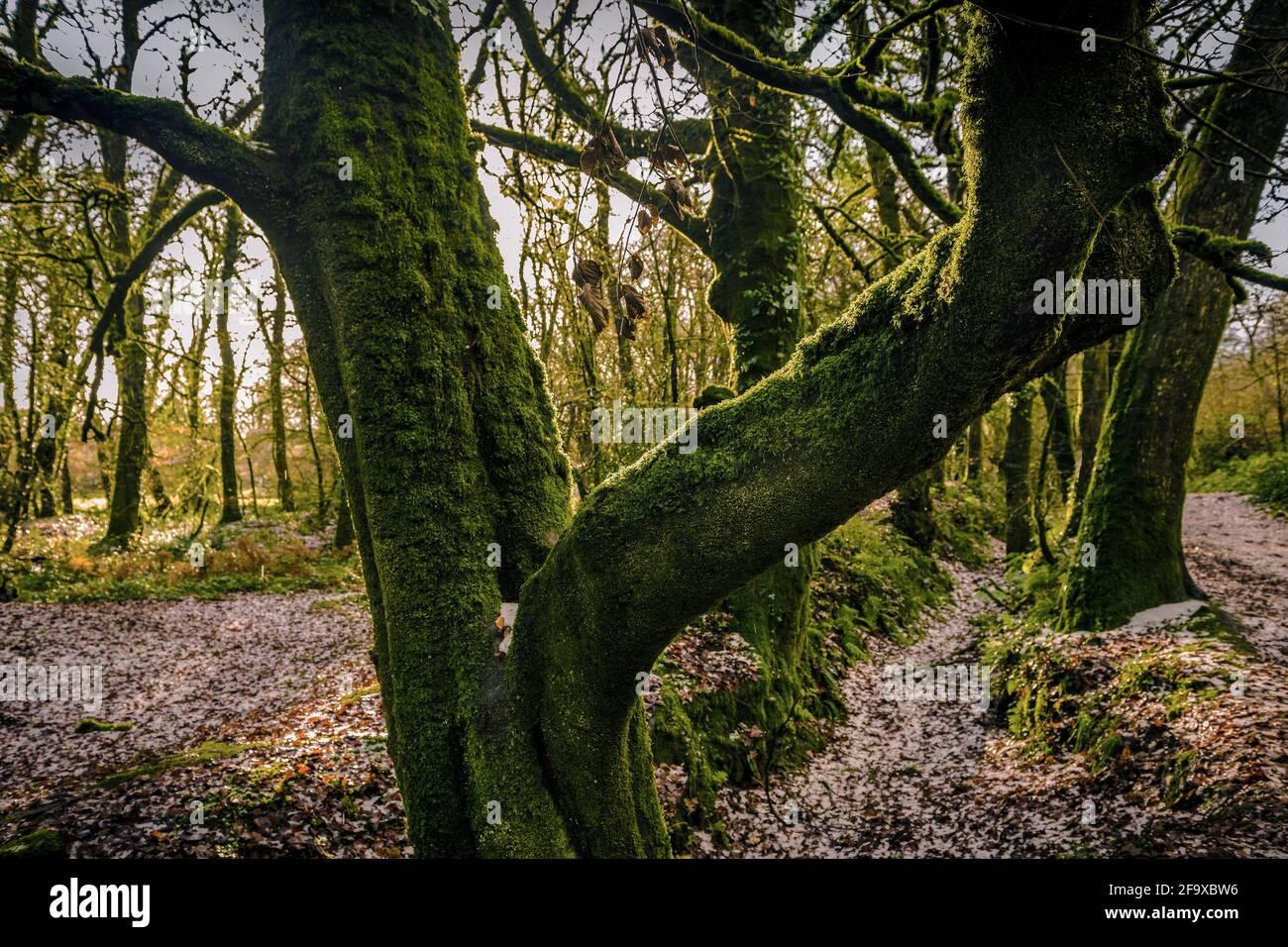 Moos wächst auf einem Buchenbaum - Fagus sylvatica - im alten Wald Draynes Wood in Cornwall. Stockfoto
