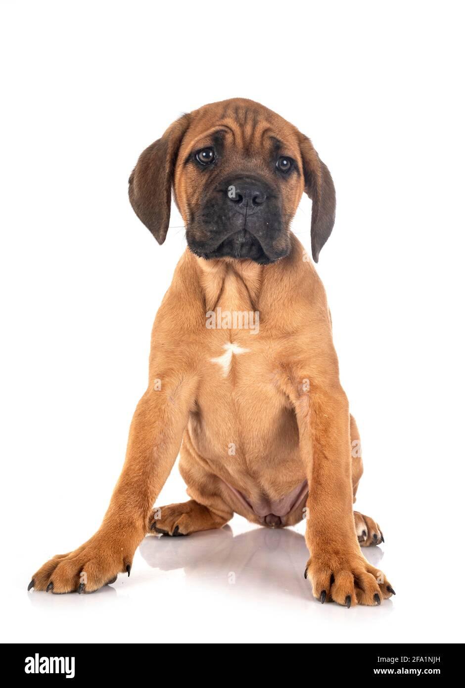 Welpen italienische Dogge vor weißem Hintergrund Stockfoto