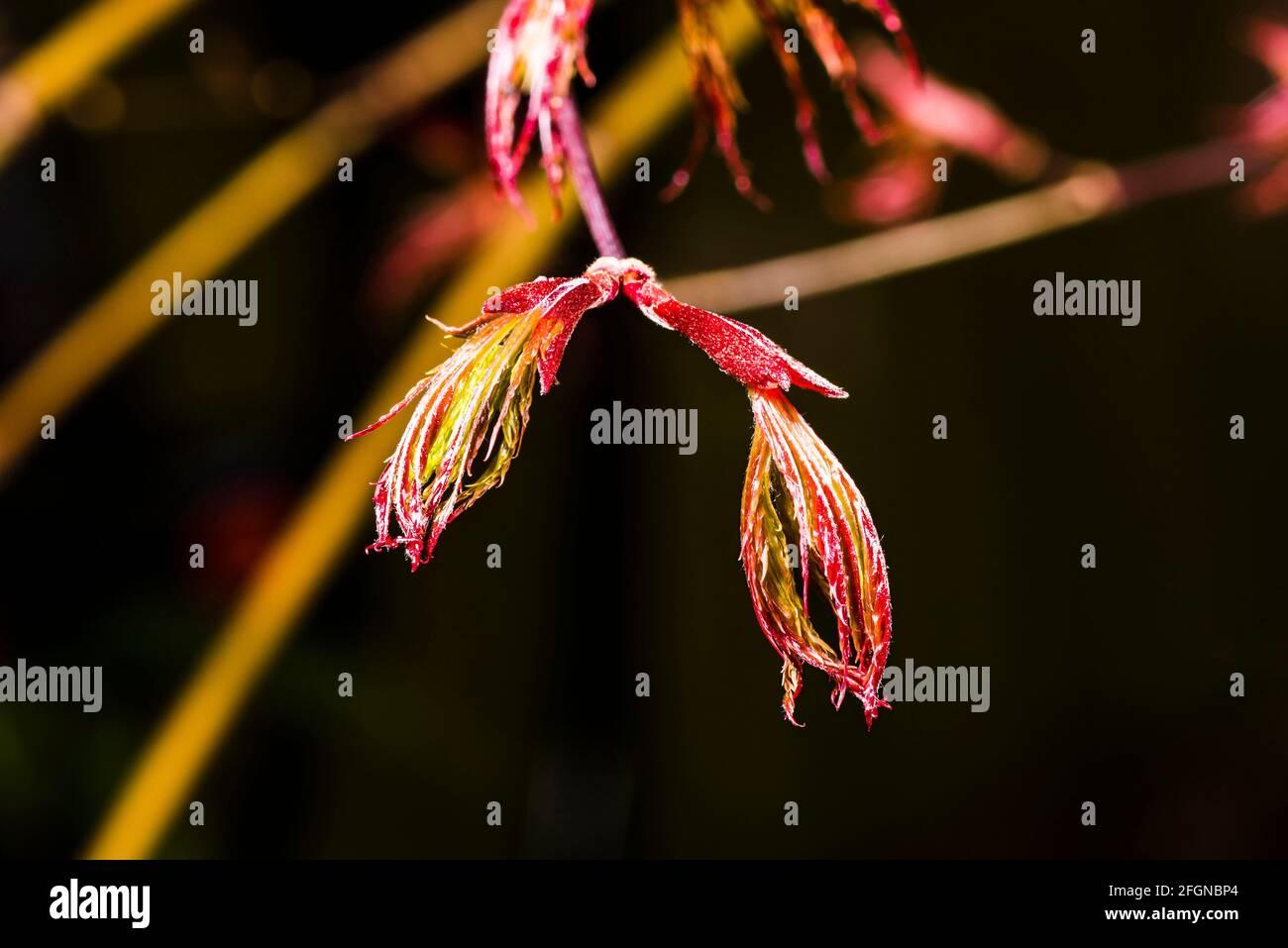 """Nahaufnahme eines sich öffnenden Blattes auf einem Acer-Palmatum """"Bloodgood""""-Baum in einem nordLondoner Frühlingsgarten, London, Großbritannien Stockfoto"""