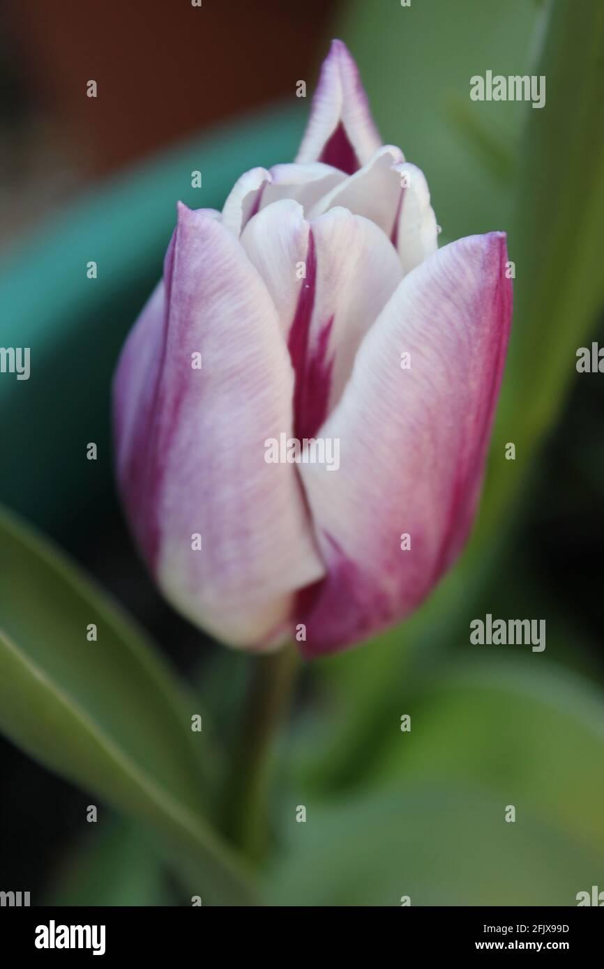 Nahaufnahme eines Blumenportraits einer blassrosa Tulpe. Eine einzelne blassrosa und weiße Tulpenblüte wächst in einem Topf. Frühling blüht und Frühling Lifestyle Ästhetik. Stockfoto