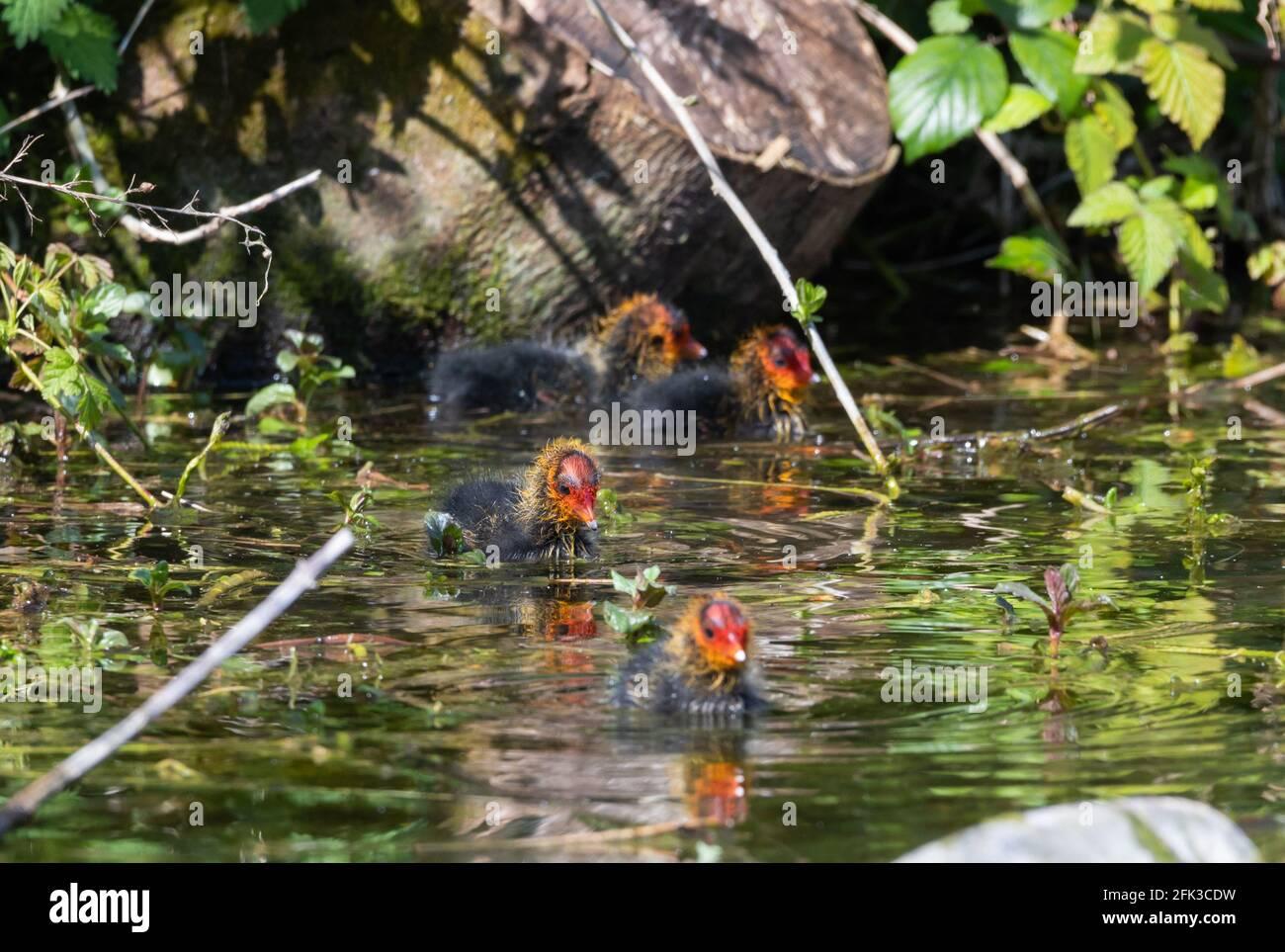Neugeborene Babycoots, bekannt als Cooties, schwimmen im Frühling in West Sussex, England, Großbritannien im Wasser. Stockfoto