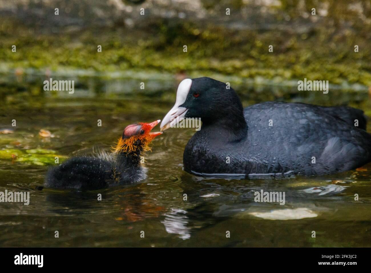 Wapping Canal, London, Großbritannien. April 2021. Die Fütterung von Coot ist ein Baby Cootie auf einem städtischen Kanal in Wapping, East London. Amanda Rose/Alamy Stockfoto