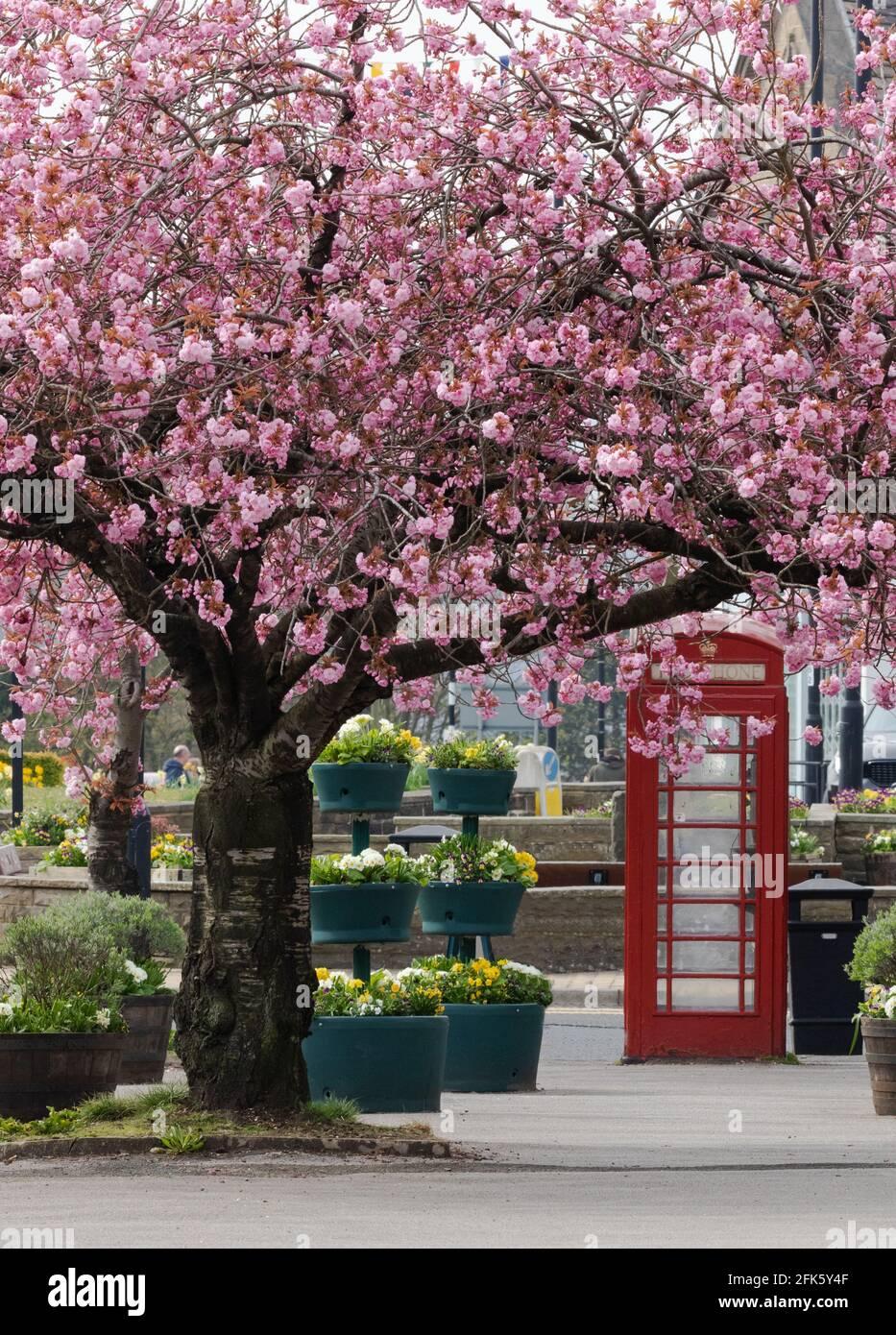 Frühlingskirschbaum blüht neben einer roten Telefondose in Baildon, Yorkshire, England. Stockfoto