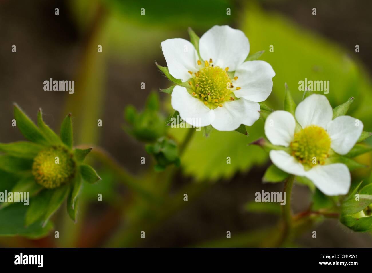 Fragaria × ananassa, Erdbeerpflanze blüht im Frühling in Großbritannien Stockfoto