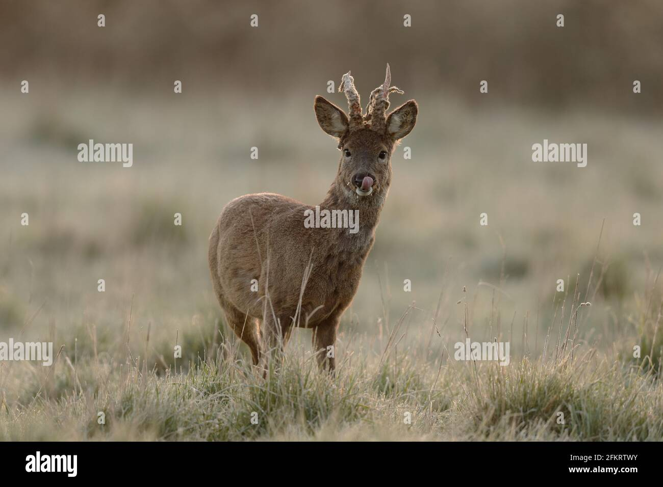 Das Reh, auch als Reh, westliches Reh oder europäisches Reh bekannt, ist eine Hirschart. Das Männchen der Art wird als Roebuck bezeichnet. Stockfoto