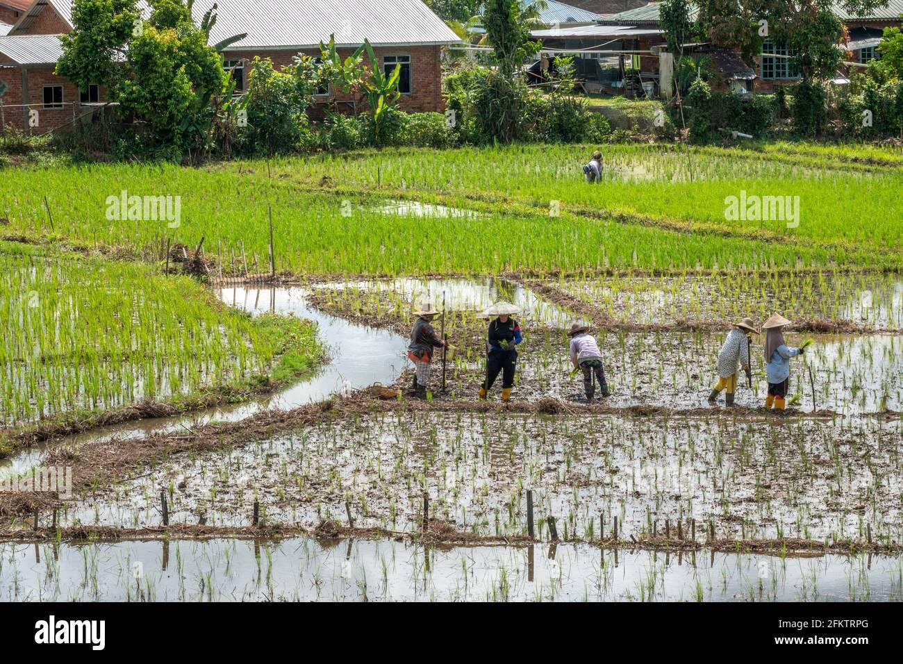 Reisfeld in Tebedu, Serian, Sarawak, Ostmalaysien Stockfoto