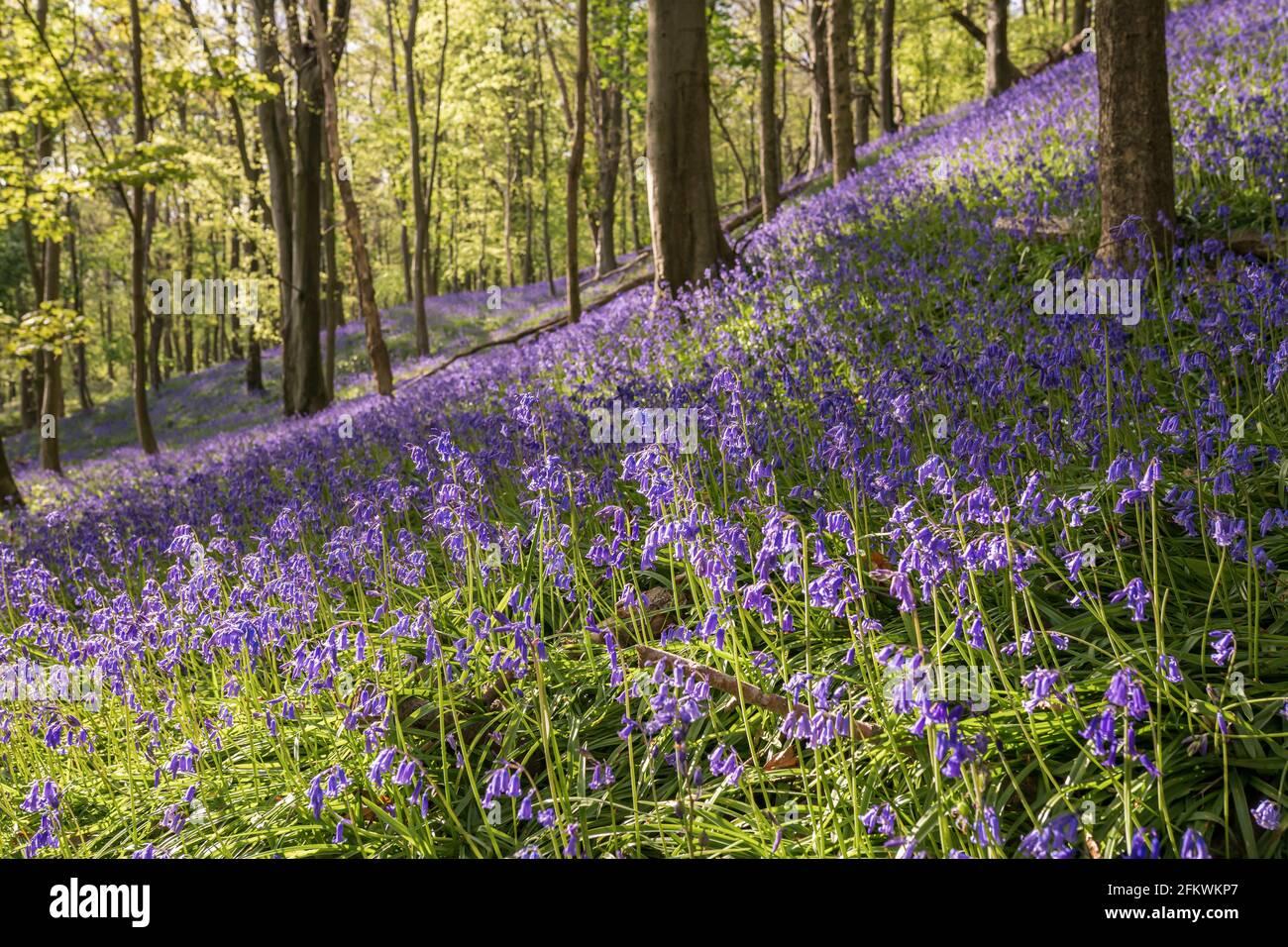 Bluebells in Graig Fawr Woods in der Nähe von Margam Country Park bei Sonnenuntergang, Port Talbot, South Wales, Großbritannien Stockfoto