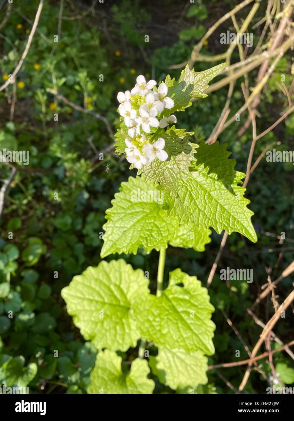 HECKE KNOBLAUCH Alliaria petiolata zweijährige Pflanze in der Familie der Senf. Foto: Tony Gale Stockfoto