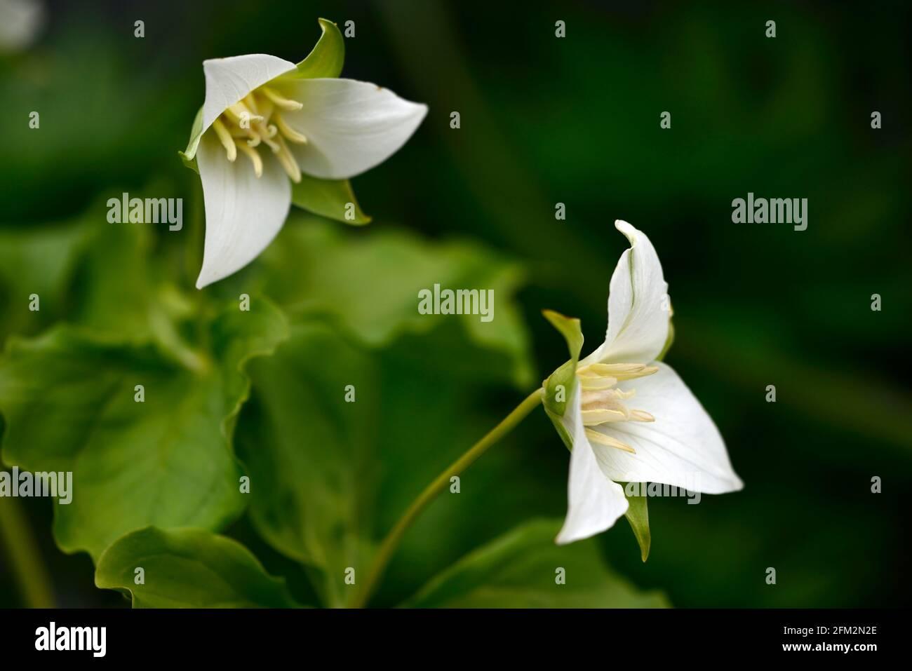 Trillium flexipes, nickend Wakerobin, gebogenes trillium, hängend Trillium, weiße Blumen, blühend, schattig, schattig, schattig, Waldländer, Waldländer, Holz, Waldgas Stockfoto